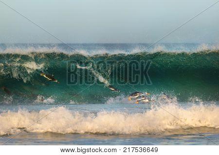 Gentoo penguins diving in big waves on the coast of Falkland islands.