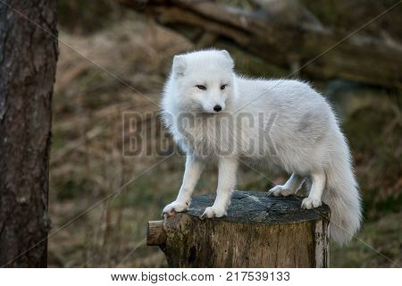 Arctic fox, Vulpes Lagopus, in its white winter camouflage fur. The camouflage is not working well, as there is no snow.