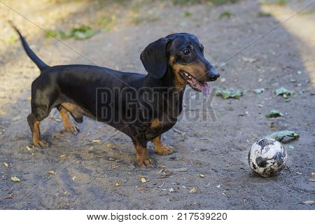 dog dachshund black tan smiles with tongue fun playing with soccer (football) ball on the street