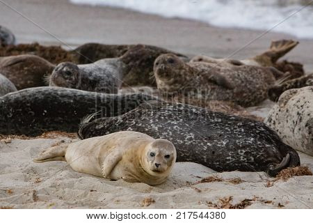 Brown baby seal on sandy beach next to other seals