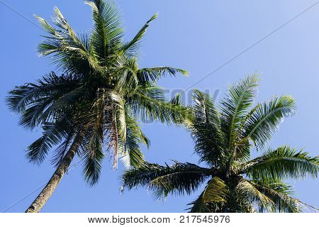 Fluffy palm tree crown on sunny blue sky background. Palm tree crown with green leaf on sky. Coco palm tree view from ground. Palm leaf skyscape. Summer travel banner. Exotic island nature image poster