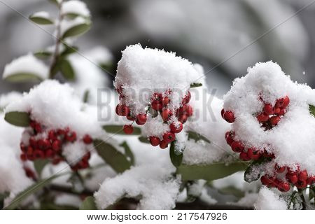 Bunch of red rowanberries covered by snow