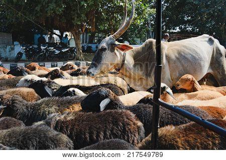 Hampi, India - November 19, 2012: A herd of sheep and cows moves along the narrow streets of Hampi hindering the movement of tuk-tuk and cars. View from the passenger seat of the tuk-tuk