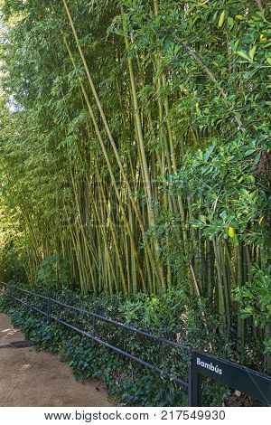 High bamboo thickets behind the fence along the footpath