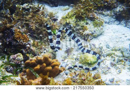 Striped sea snake underwater photo. Dangerous marine animal. Poisonous sea snake swims in shallow water. Striped seasnake. Seaside life threat. Seashore scene. Snorkeling threat. Coral reef animal
