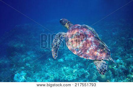 Sea turtle swims in blue sea water. Wild green sea turtle closeup. Tropical coral ree wildlife. Tortoise undersea. Tropic seashore ecosystem. Big turtle in blue water. Aquatic animal underwater photo