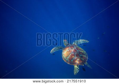 Wild sea turtle and blue sea abyss. Sea tortoise swims in deep blue ocean. Oceanic depth and turtle. Open water diving banner. Olive green turtle underwater photo. Marine animal undersea. Diving scene
