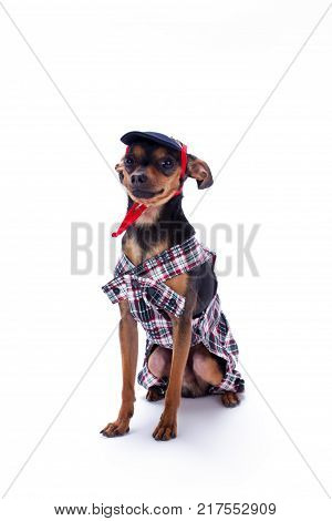 Cute sleek-haired toy terrier in clothes. Russian tiny Toy Terrier in clothing isolated on white background, studio portrait.