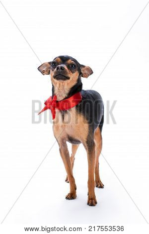 Lovely toy-terrier with red ribbon. Adorable small russian toy-terrier standing isolated on white background, studio portrait. Perfect pedigree present on Christmas.