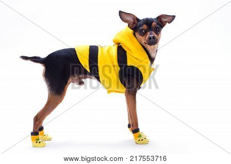Sleek-haired toy terrier in yellow clothes. Adorable miniature dog dressed in fashion apparel standing isolated on white background, studio shot. Modern clothes for pets.