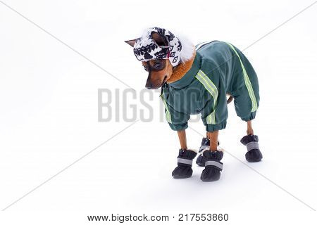 Toy-terrier in sport apparel, copy space. Adorable purebred tiny dog dressed in modern winter clothes isolated on white background, studio shot.