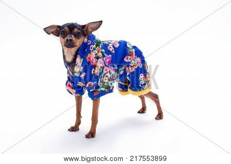 Female toy terrier in floral print costume. Beautiful little pedigree dog wearing blue patterned suit isolated on white background, studio shot.