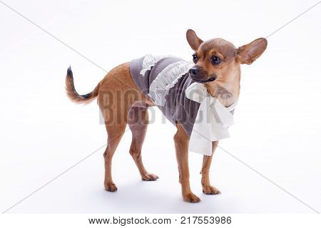 Chihuahua in clothes on white background. Cute purebred miniature chihuahua dressed in beautiful blouse isolated on white background, studio shot.