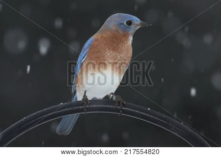 Male Eastern Bluebird (Sialia sialis) on a perch with falling snow
