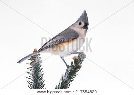 Tufted Titmouse (baeolophus bicolor) on a tree in with snow and a white background