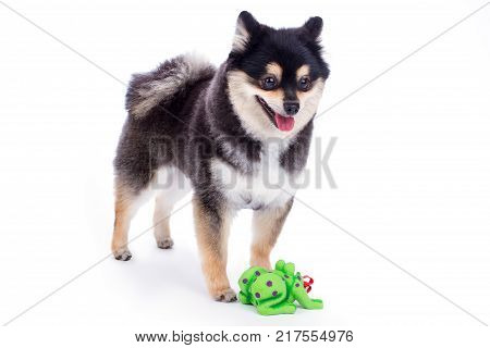 Black pomeranian spitz, white background. Pedigree black and white dog with green toy isolated on white background.