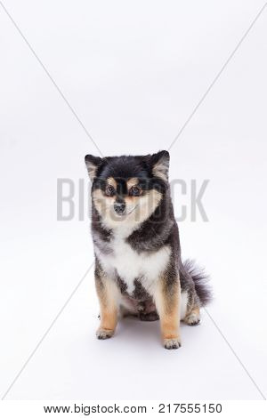 Beautiful black and white pomeranian toy. Cute fluffy pedigree dog sitting islated on white background. Adorable furry dog.