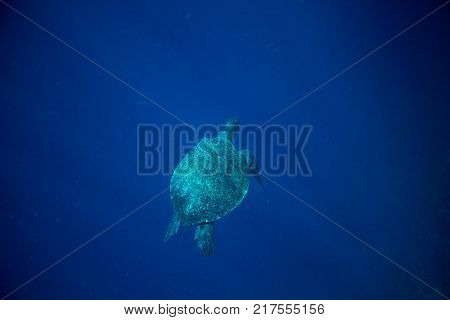 Sea turtle and blue sea abyss. Sea tortoise swims in deep blue ocean. Oceanic depth and turtle. Open water diving banner. Marine turtle underwater photo. Marine animal undersea. Diving scene