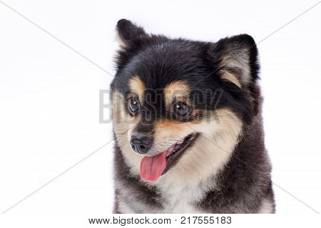 Close up portrait of dark pomeranian spitz. Beautiful black and white fluffy pedigree dog isolated on white background, studio shot close up.