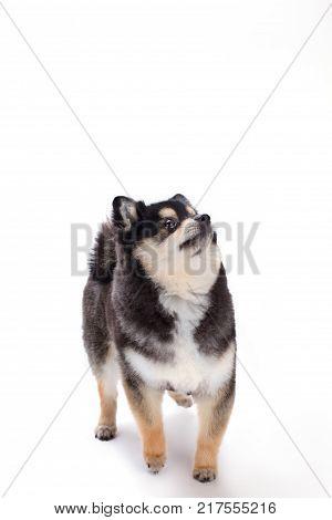 Lovely puppy spitz, studio shot. Young beautiful pomeranian spitz isolated on white background. Happy miniature dog.