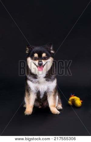 Portrait of pomeranian spitz, front view. Adorable black and white fluffy pedigree dog posing on dark background, studio shot.
