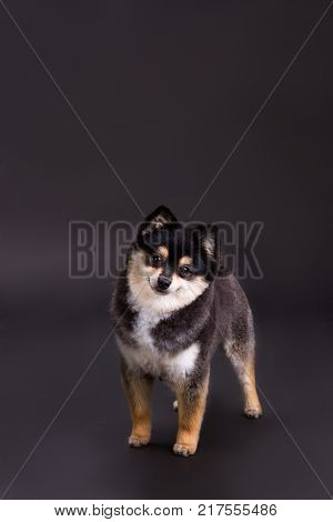 Cute little dog, studio shot. Two-colour pomeranian spitz posing on dark background. Pedigreed domestic fluffy dog.