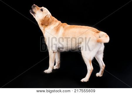 Blonde labrador retriever on black background. Beautiful young yellow labrador dog on dark background, studio shot. Adorable labrador with blonde and yellow fur.