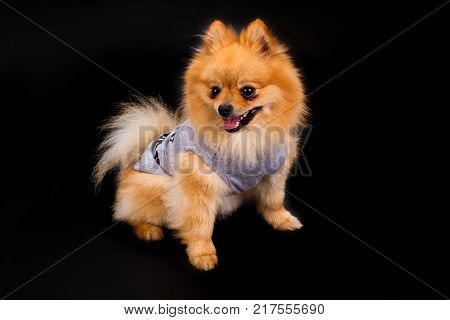 Cute pomeranian spitz in clothes. Adorable puppy spitz in cute apparel on black background. Studio shot of lovely spitz.