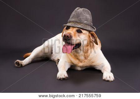Cute labrador lying on dark background. Yellow labrador retriever lying black background in fashion hat, studio shot. Beautiful puppy labrador.