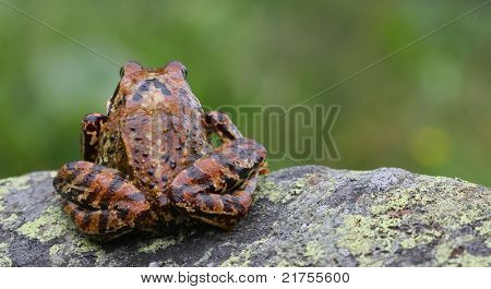 beautiful tree frog sitting on a rock