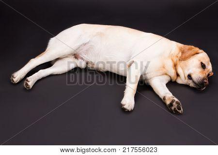 Relaxing yellow labrador, studio shot. Beautiful blonde labrador retriever lying on black background, studio shot. Lovely and cute purebred pet.