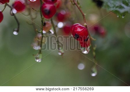 Red currant bush with raindrops, morning light. Redcurrant berries in the garden after rain. Ribes rubrum - gooseberry Grossulariaceae. close up macro