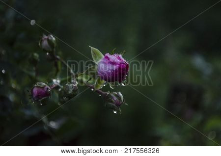 Pink red rose flower bud with raindrops in garden after rain. evening lighing, summer