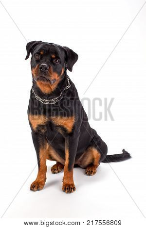 Lovely pedigree rottweiler, studio shot. Young beautiful purebred rottweiler sitting over white background, studio portrait.