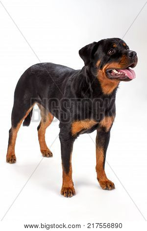 Rottweiler standing on white background. Studio shot of young lovely rottweiler dog isolated on white background. Cute pedigree dog.