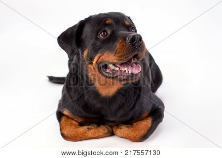 Close up studio portrait of beautiful rottweiler. Lovely young rottweiler dog isolated on white background, studio shot close up. Strong and muscular dog.