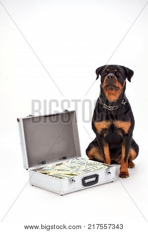 Rottweiler dog and diplomat with dollars. Portrait of young cute rottweiler on sitting near metal case of money isolated on white background.