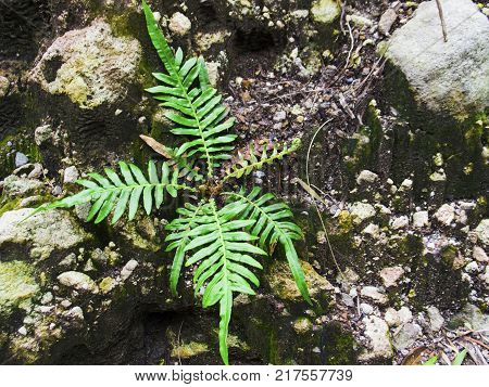 Natural fern leaf on stone closeup photo. Fern leaf on black rock. Green foliage on volcanic stone. Nature banner template. Overcoming challenges in unfriendly environment concept. Green plant growth