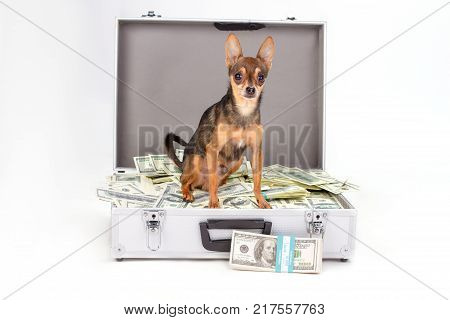 Toy-terrier and currency, studio shot. Tiny purebred sleek-haired dog sitting in suitcase full of dollars on white background, bundle of dollars, studio shot.