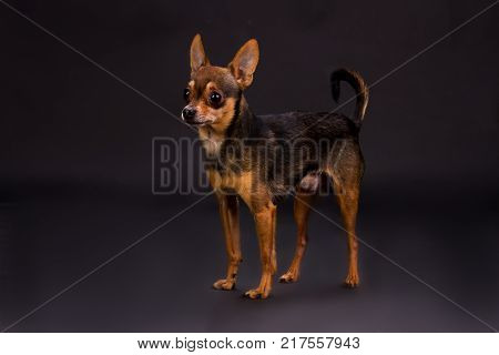 Studio portrait of russian toy-terrier. Adorable tiny dog standing on dark studio background. Pedigreed mammal pet.