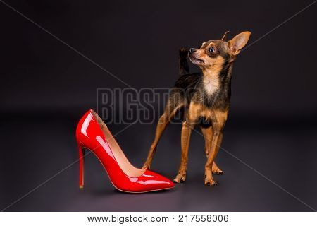 Terrier dog and female red stiletto shoe. Red leather woman high heel and purebred russian toy-terrier dog, studio shot. Pedigreed miniature dog and ladies footwear.