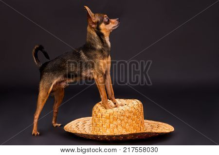 Toy-terrier on straw hat, studio shot. Lovely tiny russian toy-terrier standing on wicker straw hat on dark studio background, profile view.