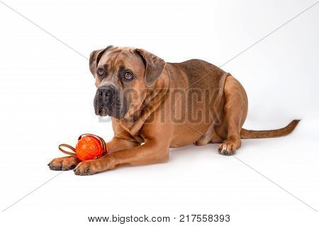 Italian mastiff cane corso playing with ball. Serious cane corso italian dog lying with ball on white background, studio shot. Attractive and huge dog.