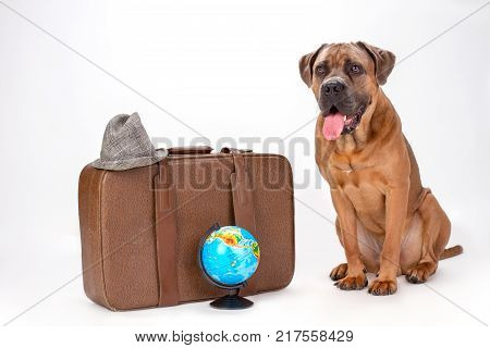 Brown cane corso with travel bag. Big italian mastiff cane corso with travel valise, globe and hat sitting isolated on white background. Travelling and vacation concept.