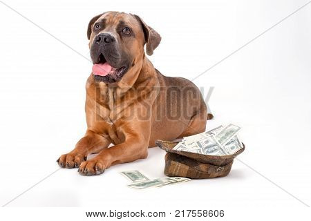 Cane corso and hat full of dollars. Italian mastiff cane corso and cap with cash isolated on white background, studio portrait.
