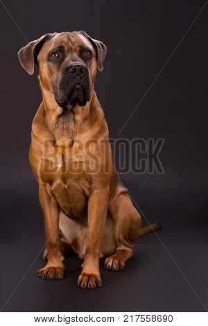 Adorable cane corso, studio shot. Beautiful brown pedigreed mammal pet on dark studio background.