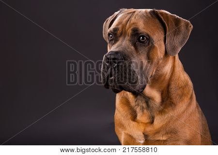Brown cane corso, studio portrait. Huge pedigreed cane corso italiano dog on dark gradient background, studio shot. Lovely and strong dog.