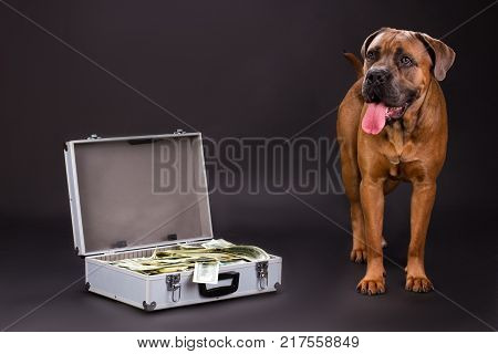 Cane corso and silver suitcase with dollars. Young muscular cane corso italiano dog and metal case with currency on dark background, studio shot. Strong defender of your savings.