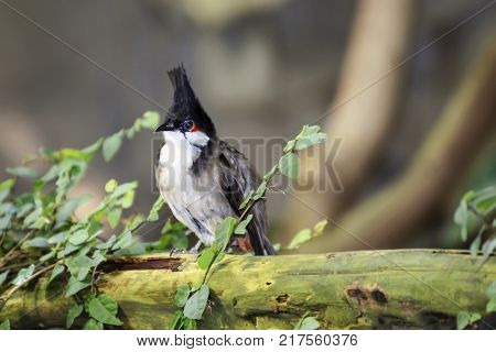 Bird red-whiskered bulbul sits on the trunk of an old fallen tree
