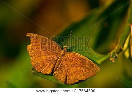 Rhopalocera Cold Blooded insect Open Wings for Basking
